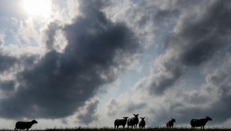 Faar og koer i Marsken Foto: Ulrik Pedersen, Tøndermarsk Initiativet. Billedet må benyttes i forbindelse med omtale af Tøndermarsken og/eller Tøndemarsk Initiativet.